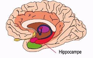 hippocampe.jpg